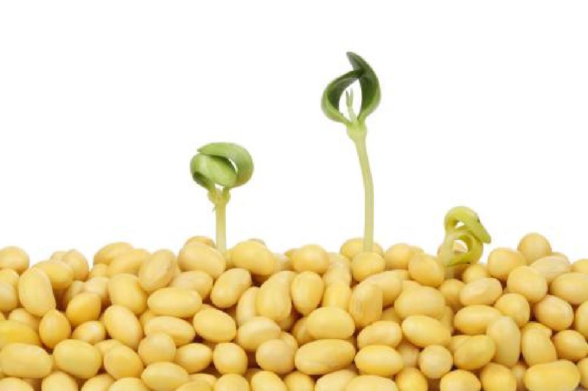 美国大豆委员会表示,中国可能仍会限制从美国进口大豆